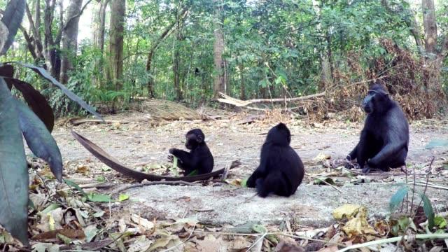 celebes ailesinin makak, sulawesi, endonezya tepeli - makak maymunu stok videoları ve detay görüntü çekimi