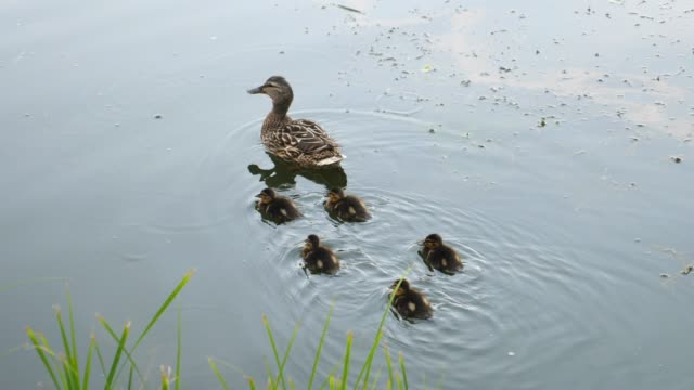 Family Of Ducks. Mother Swimming With Cute Little Ducklings In River.