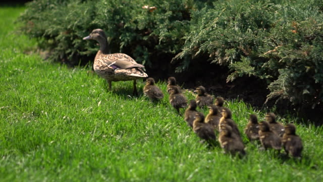 Family of ducks walking on the green grass in the park on a sunny day. Slow motion. Close-up. Flock of birds in nature. Camera follows ducklings