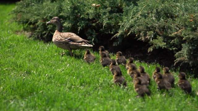 Family of ducks walking on the green grass in the park on a sunny day. Close-up. Flock of birds in nature. Camera follows ducklings Family of ducks walking on the green grass in the park on a sunny day. Close-up. Flock of birds in nature. Camera follows ducklings animal family stock videos & royalty-free footage