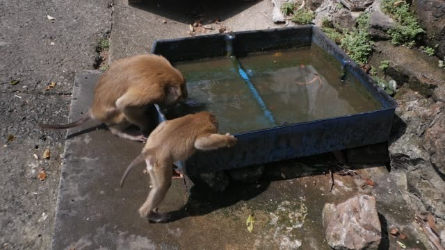 A family of monkeys bathes in a container of water. Funny world of wild animals.