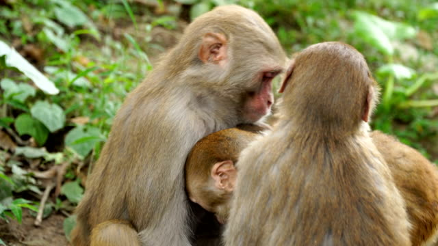 A family of monkeys in the wild jungle. video