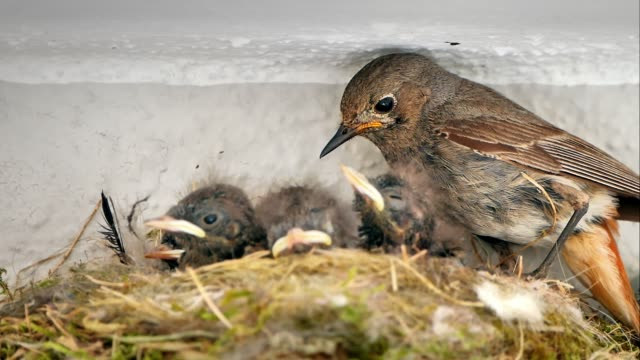 rodzina nightingales w gnieździe - młody ptak filmów i materiałów b-roll