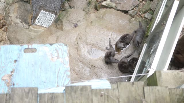 family of otters in an exhibit near a water feature - as seen from above angle - zoo filmów i materiałów b-roll