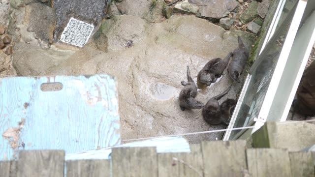 vidéos et rushes de famille de loutres dans une pièce près d'une pièce d'eau - comme on le voit par dessus de l'angle - zoo