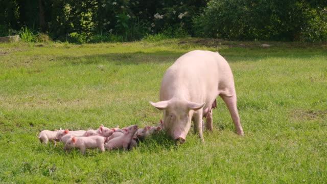 子犬が母親から授乳している緑の野外芝生の豚の家族。 - 子豚点の映像素材/bロール