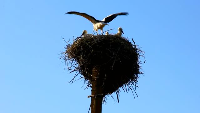 vídeos de stock, filmes e b-roll de família de cegonhas em um grande ninho. - américa do norte
