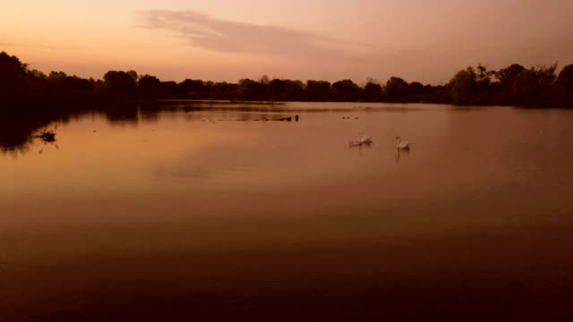 Family of swans at sunset on the river - Lombardy - Italy video