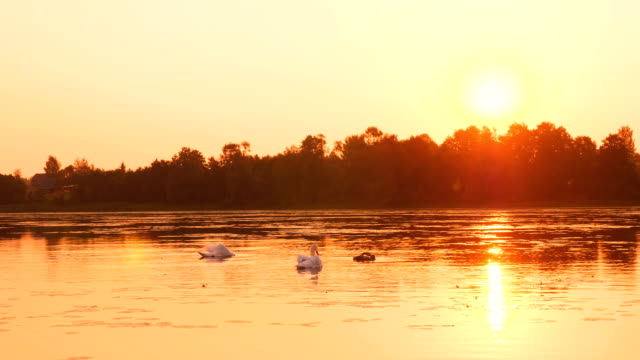 Family of swans floating on the morning sunrise