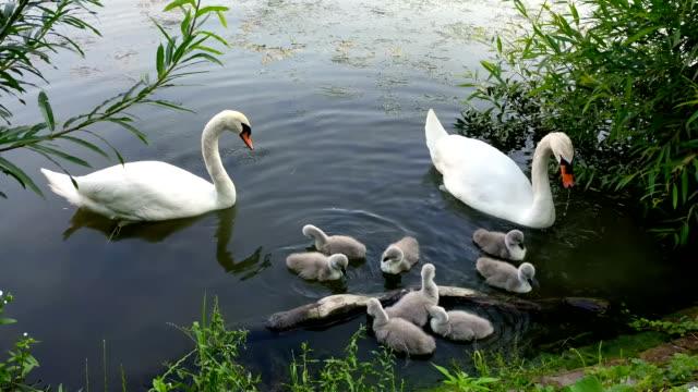 familie von schwäne schwimmen und essen friedlich - schwan stock-videos und b-roll-filmmaterial