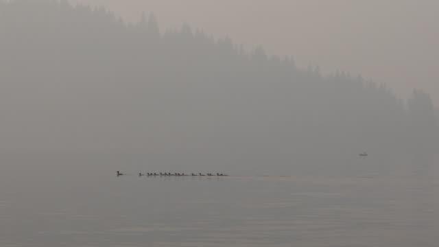 family of western grebes (aechmophorus occidentalis) swimming on lake - svasso video stock e b–roll