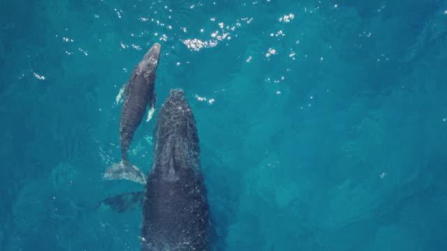 vidéos et rushes de une famille de baleines pendant qu'elles nagent dans l'océan bleu. - baleine