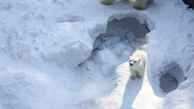Family of white polar bear with little cubs. Newborn polar bear cubs play on snow.