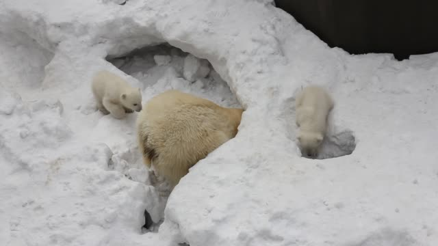 Family of white polar bear with little cubs. Newborn polar bear cubs play on snow. Family of white polar bear with little cubs. Newborn polar bear cubs play on snow. polar climate stock videos & royalty-free footage