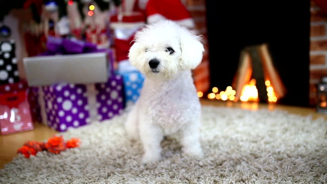 family pets resting in front of the fireplace - bichon frisé video stock e b–roll
