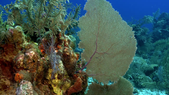 Fan Coral Caribbean Reef Scene Slow-motion drift across Caribbean coral reef with blue sea background and fan coral (Gorgonia Ventolina) foreground with mixed hard and soft corals, blue chromis reef fish turks and caicos islands stock videos & royalty-free footage