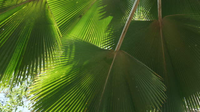 Fan palm leaves tropical tree plant swaying fronds in wind, green leaf pattern nature tropical summer background.