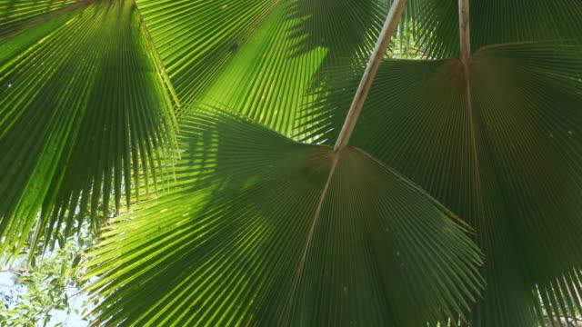 vídeos de stock e filmes b-roll de fan palm leaves tropical tree plant swaying fronds in wind, green leaf pattern nature tropical summer background. - oscilar