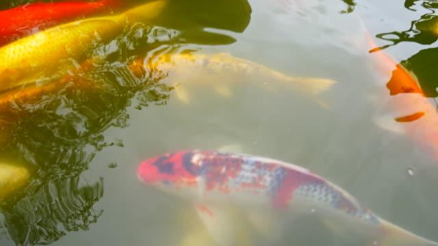stockvideo's en b-roll-footage met mooie karper vissen zwemmen in de vijver - carp