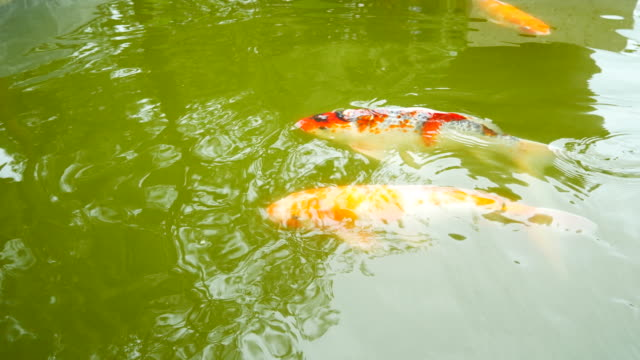 Fancy Carp fish swimming in pond video