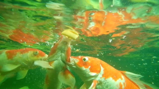 stockvideo's en b-roll-footage met mooie karper zwemmen en zuigen van voedsel in de vijver. - carp