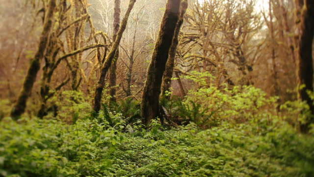 Fantastical redwood dolly video