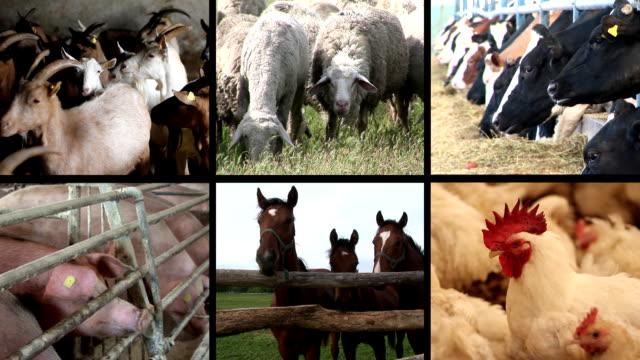 Farm Animal multiscreen video