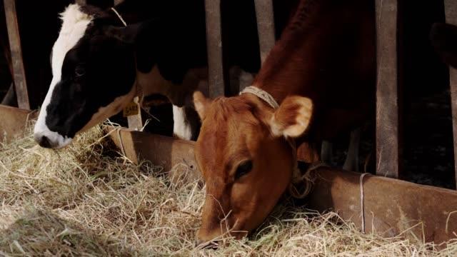 vidéos et rushes de vache de ferme mangeant l'herbe. fermez-vous vers le haut de la vache de holstein mangent l'herbe. - vache laitière