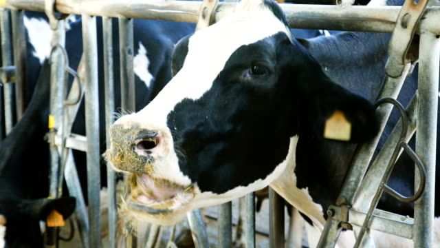 farm cowshed with milking cows - giovenca video stock e b–roll