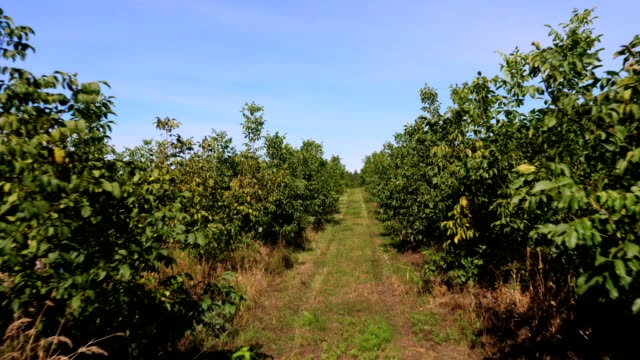 farm, fields of walnut plantations. rows of healthy walnut trees in a rural plantation with ripening walnuts on trees on a sunny day - noci video stock e b–roll