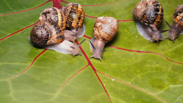 Farm for breeding edible snails for gourmet restaurants A new business trend for the development of edible snails