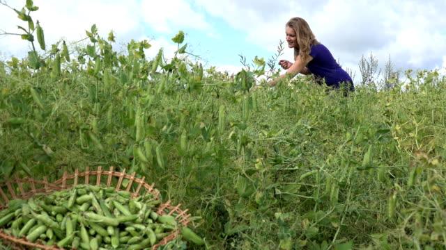farm worker girl pick ripe peas pods to wicker basket. FullHD video
