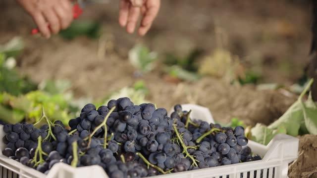 lantarbetare skörd röda och gröna ekologiska druvor i solig vingård. druvor i låda. - wine box bildbanksvideor och videomaterial från bakom kulisserna