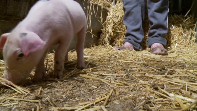 HD: Farmer And A Piglet video