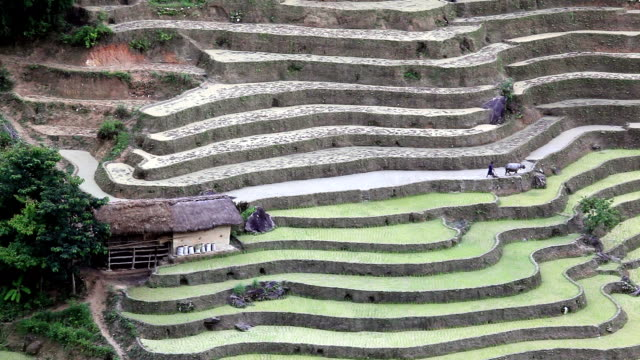 Farmer and buffalo work in their terraced rice fields video