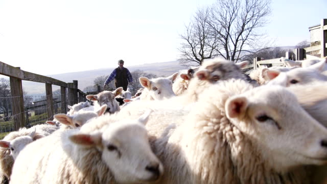 farmer and sheepdog herding sheep - sheep stock videos and b-roll footage