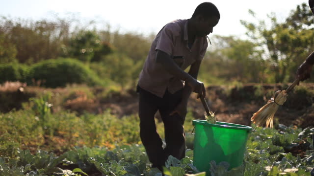 Farmer applying natural pesticides on rural African farm garden video