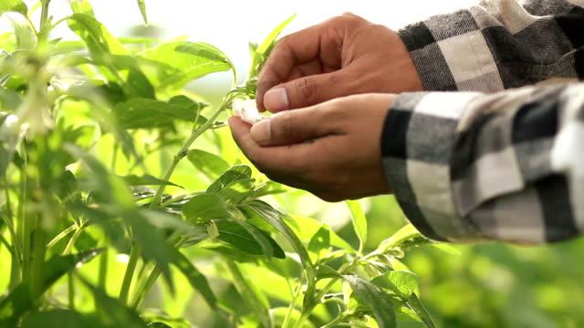 farmer care his crop plant at farmland - sesamo video stock e b–roll
