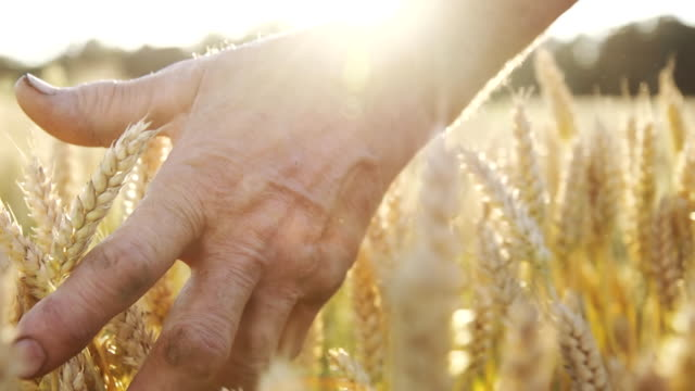 HD SUPER SLOW MO: Farmer Caressing The Wheat HD1080p: SUPER SLOW MOTION shot of a farmer's hand caressing the wheat ears in a field. Camera Stabilization Shot. wheat stock videos & royalty-free footage