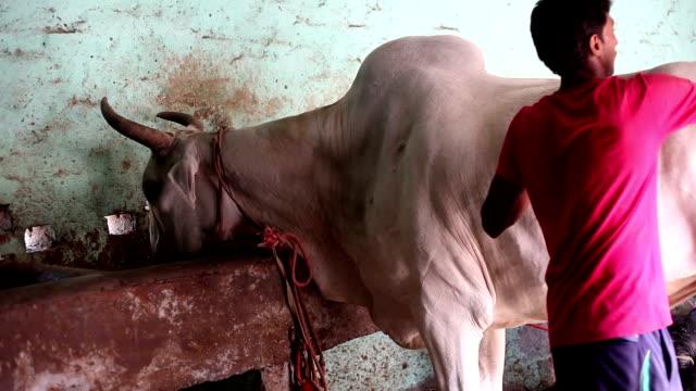 farmer caring his domestic animal at home - haryana video stock e b–roll