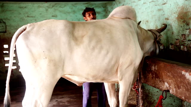 Farmer caring his domestic animal at home - video