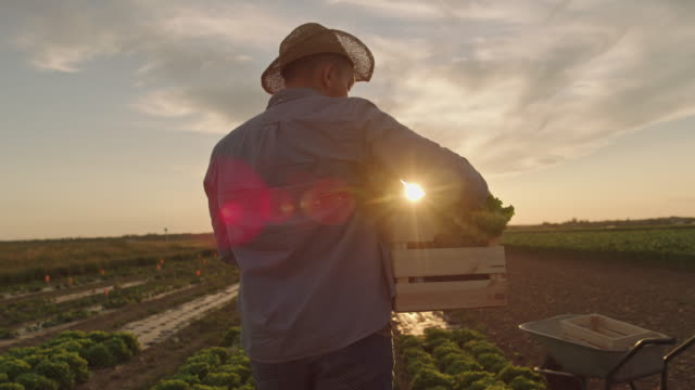 SLO MO Farmer carries a crate full of vegetables across a field at sunset