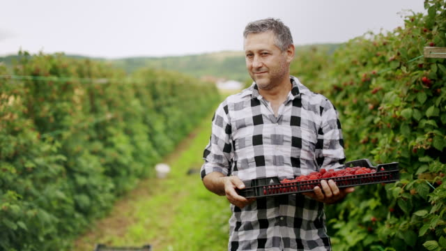 Farmer carries a full crate of raspberries