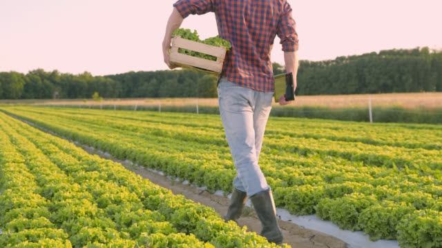 DS Farmer carrying a wooden crate and digital tablet across a field of lettuce video