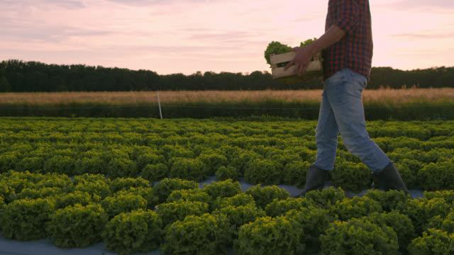 ds farmer carrying a wooden crate with lettuce along the field - gospodarstwo ekologiczne filmów i materiałów b-roll