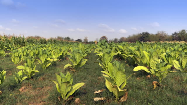 farmer carrying basket with harvested tobacco leaves on his shoulder through his field - nicotina video stock e b–roll