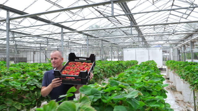 Farmer carrying strawberries in an organic greenhouse. Healthy lifestyle.