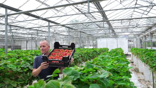 vídeos de stock e filmes b-roll de farmer carrying strawberries in an organic greenhouse. healthy lifestyle. - baga