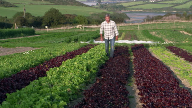 Farmer Checking Salad Leaves On Farm Shot On RED Camera video