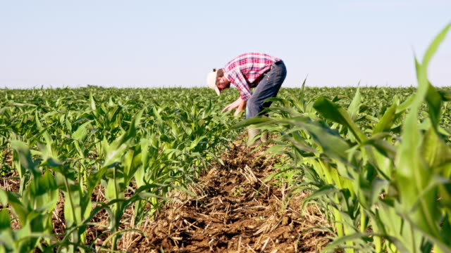 the corn planting vocab Corn: it's feed it's fuel it's food it's everything what happens to all that corn grown by iowa farmers much of it becomes livestock feed and ethanol fuel, or is exported as value-added products.